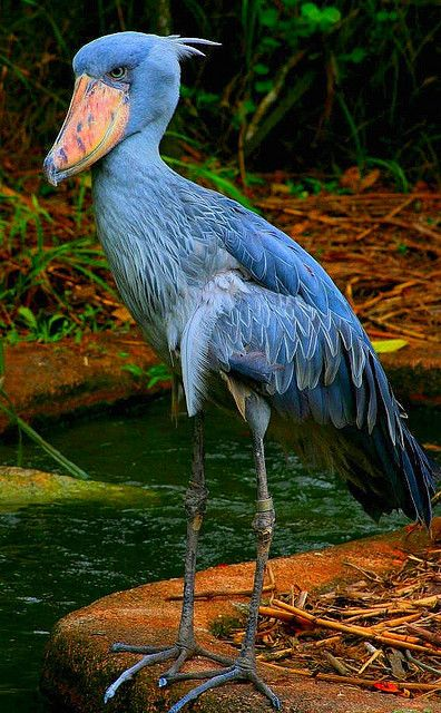 Shoebill - native to large swamps from Sudan to Zambia in tropical east Africa