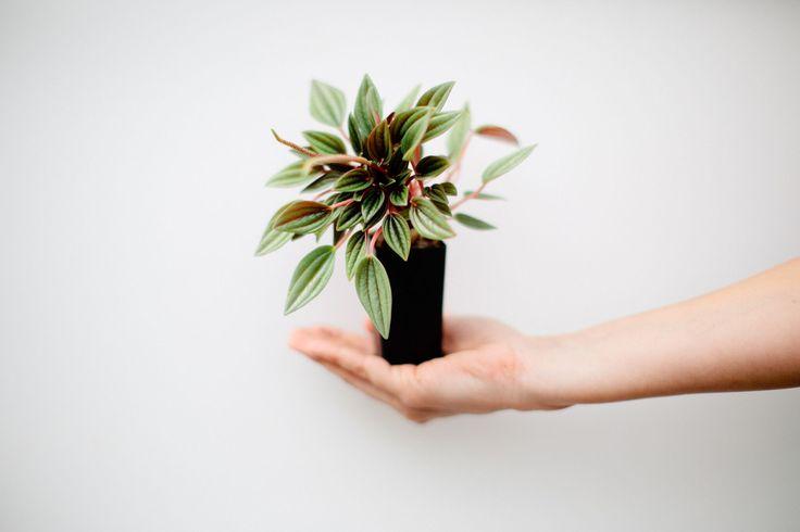 Peperomia caperata Rosso | Buy Online b#plantsinabox