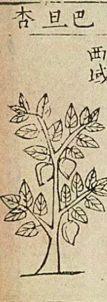 扁桃、巴旦杏(アーモンド・スイート) Prunus amygdalus var. dulcis  本草綱目 李時珍, Bencao Gangmu, Chinese materia medica, written by Li Shizhen (1590)
