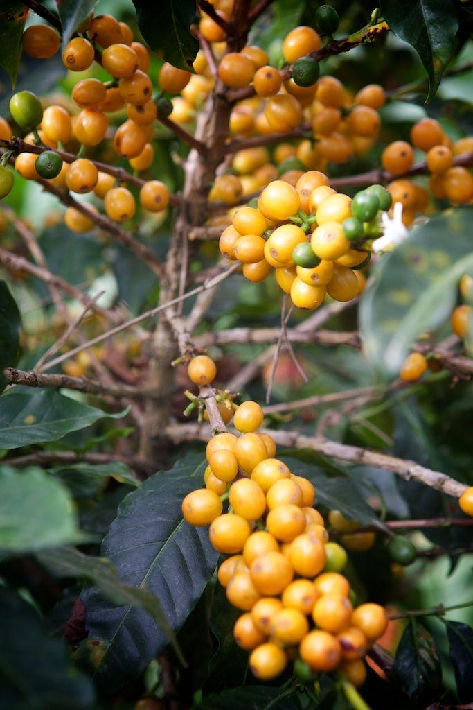 Und so wie das Fruchtfleisch der Kakaofrucht, kann man ebenso das Fruchtfleisch der Kaffeekirsche genießen