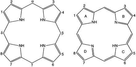 Fig 1 The structures of the porphyrinogens (left) and porphyrins (right). Substituents are numbered according to the conventional Fisher system. In the porphyrinogen ring, the positions designated by Greek letters are occupied by methyl groups (–CH2), whereas in the porphyrin ring these positions are occupied by methene (–CH=) groups.