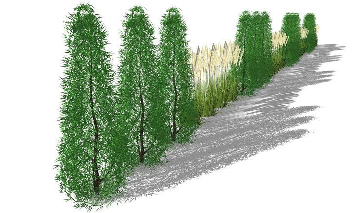 Sichtschutzkombination mit Säulenhainbuche und Miscanthus-Hecke, als grüner Sichtschutz