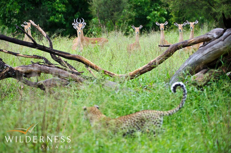 Chitabe Lediba - in the right place at the right time? #Safari #Africa #Botswana #WildernessSafaris