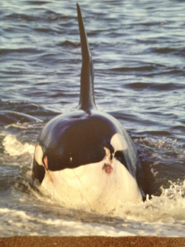 Orcas #patagonia #penínsulavaldés #argentina