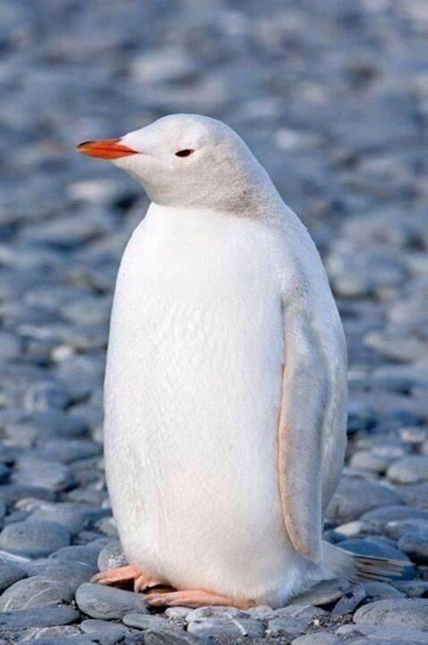 Rare white penguin.