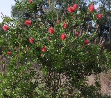 25 melhores ideias de arbustos floridos no pinterest - Especies de arbustos ...