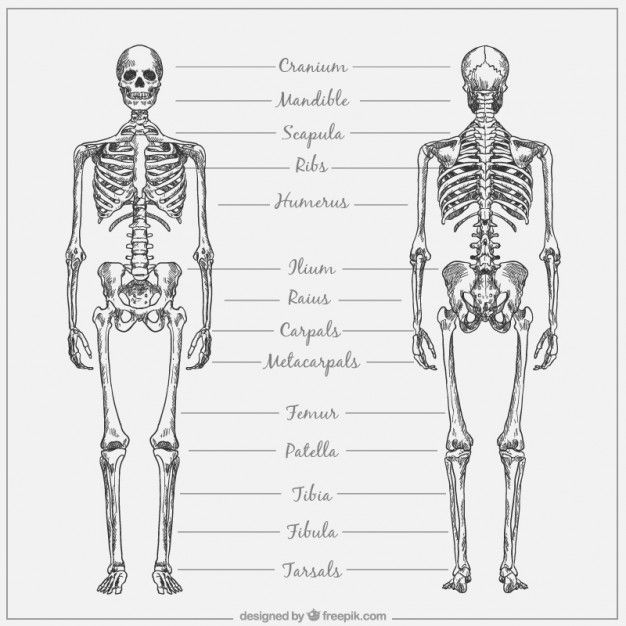 Hand drawn skeletal system with names Premium Vector