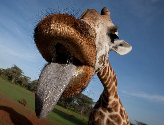 Giraffe tongue - photo#23