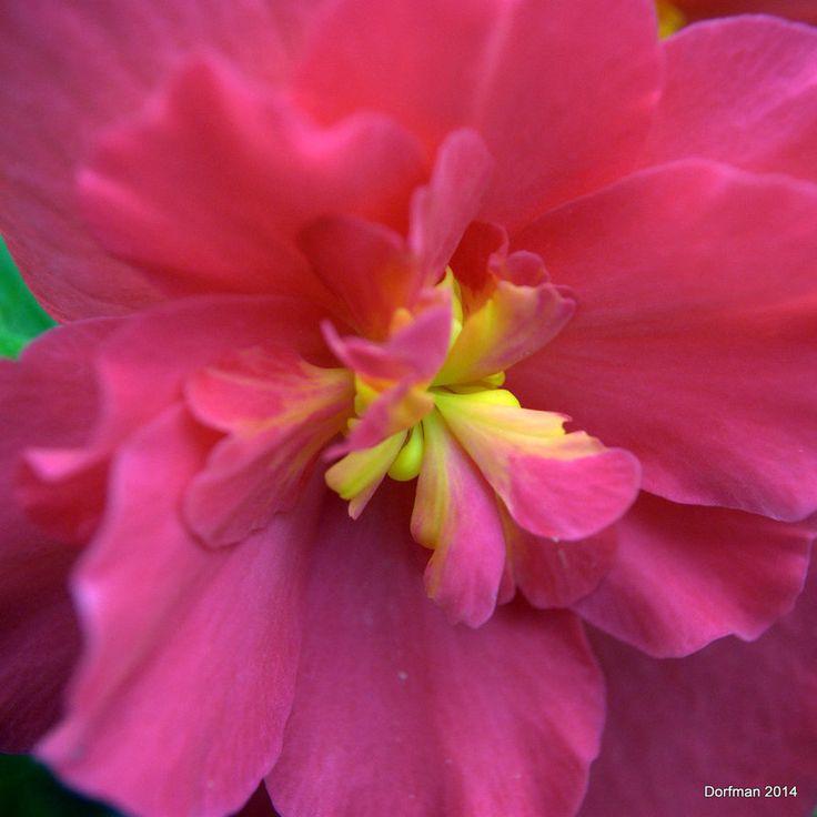 Begonia by dorfman