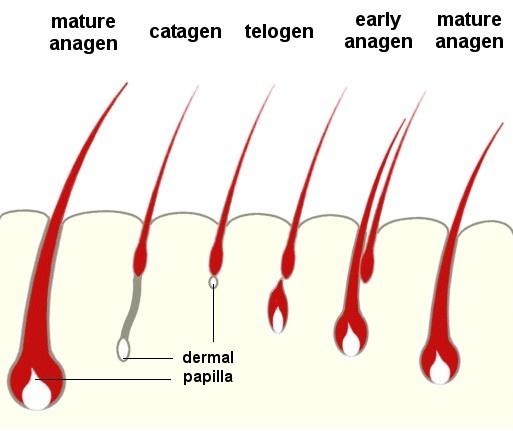 I problemi di caduta di capelli provocano un'alterazione del ciclo di vita del follicolo. Il capello nella sua dimensione originaria si miniaturizza fino a rendere visibile il cuoio capelluto, questo è il diradamento dei capelli, primo passo verso la calvizie. Oggi questo meccanismo può essere rallentato e controllato grazie alla biotecnologia, non arrenderti alla calvizie. Ferma la caduta dei capelli, prendendoti cura di riattivare ricrescita di capelli e potenzialità di produzione di…