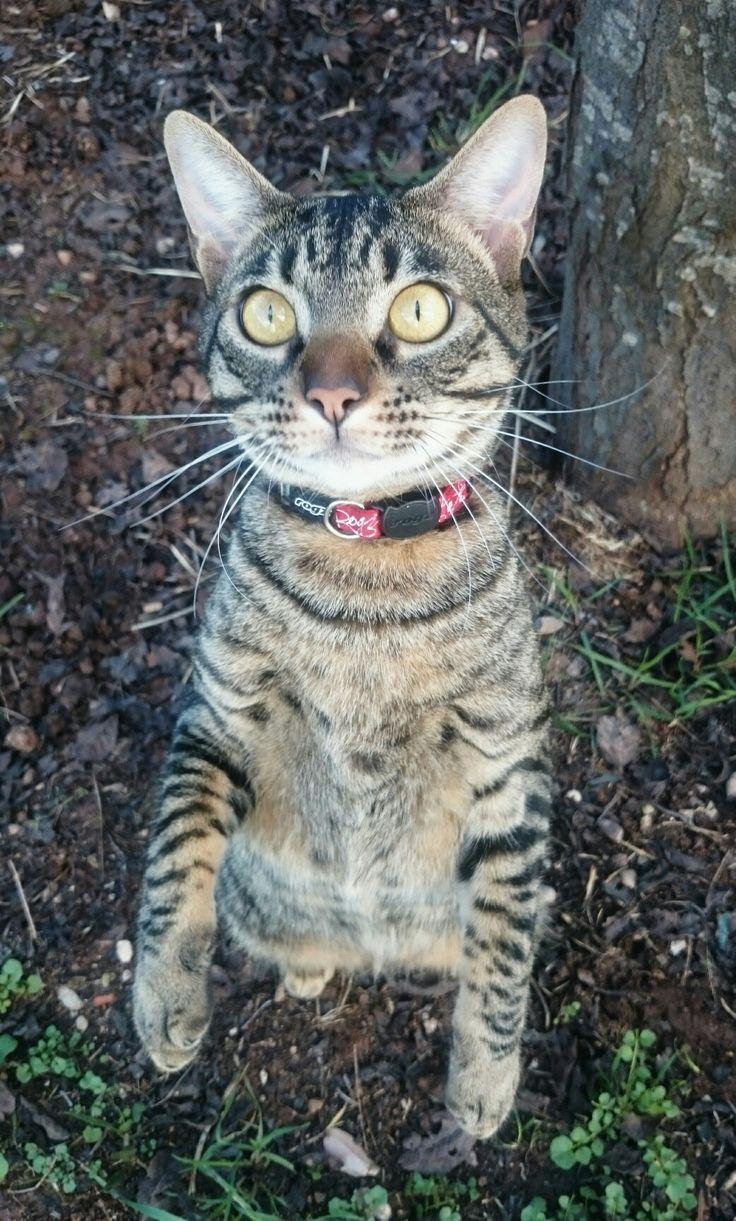 Jardín gato grande 9 meses rayado gris preciosos ojos miel