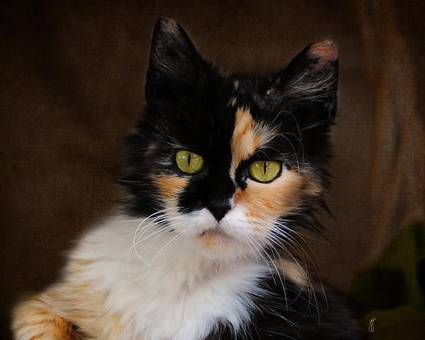 1000 Images About Calico Cats Amp Kittens On Pinterest