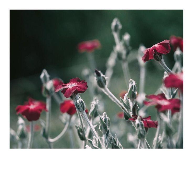 Saturday morning   梅雨空にひときわ目立つ紅い花   Lens: Carl Zeiss Jena Flektogon DOR 35mm       この土日は撮りためてある今クールのドラマの最終回ばかりを観るのれす  #フランネルソウ #スイセンノウ #リクリスコロナリア