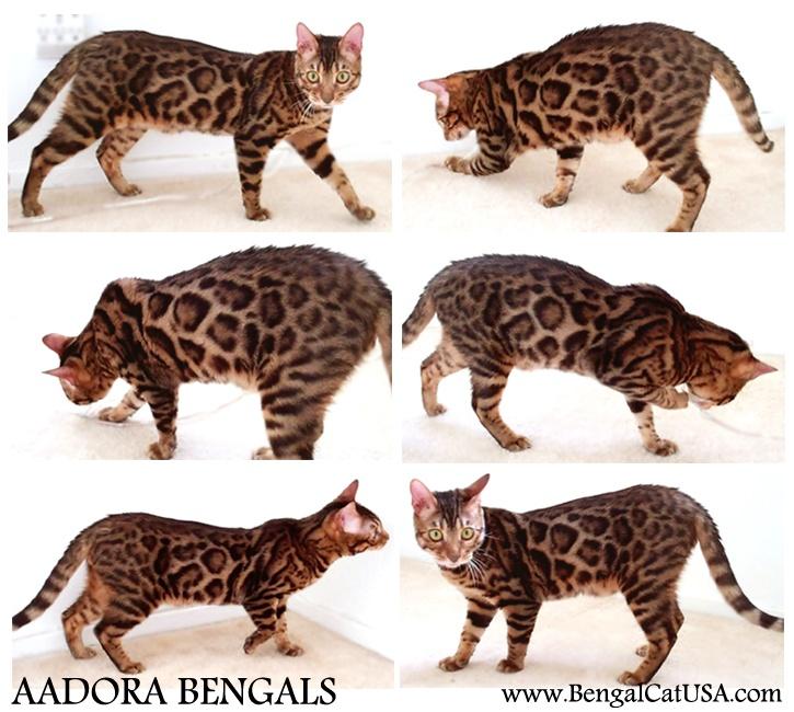 Aadora Bengals presents a beautiful Brown Rosetted Bengal