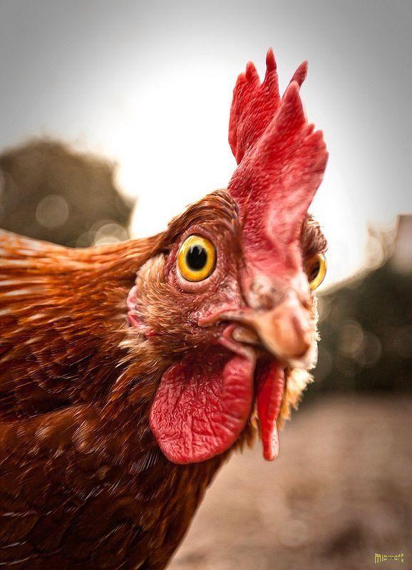 Картинки прикольные смешные с курицей