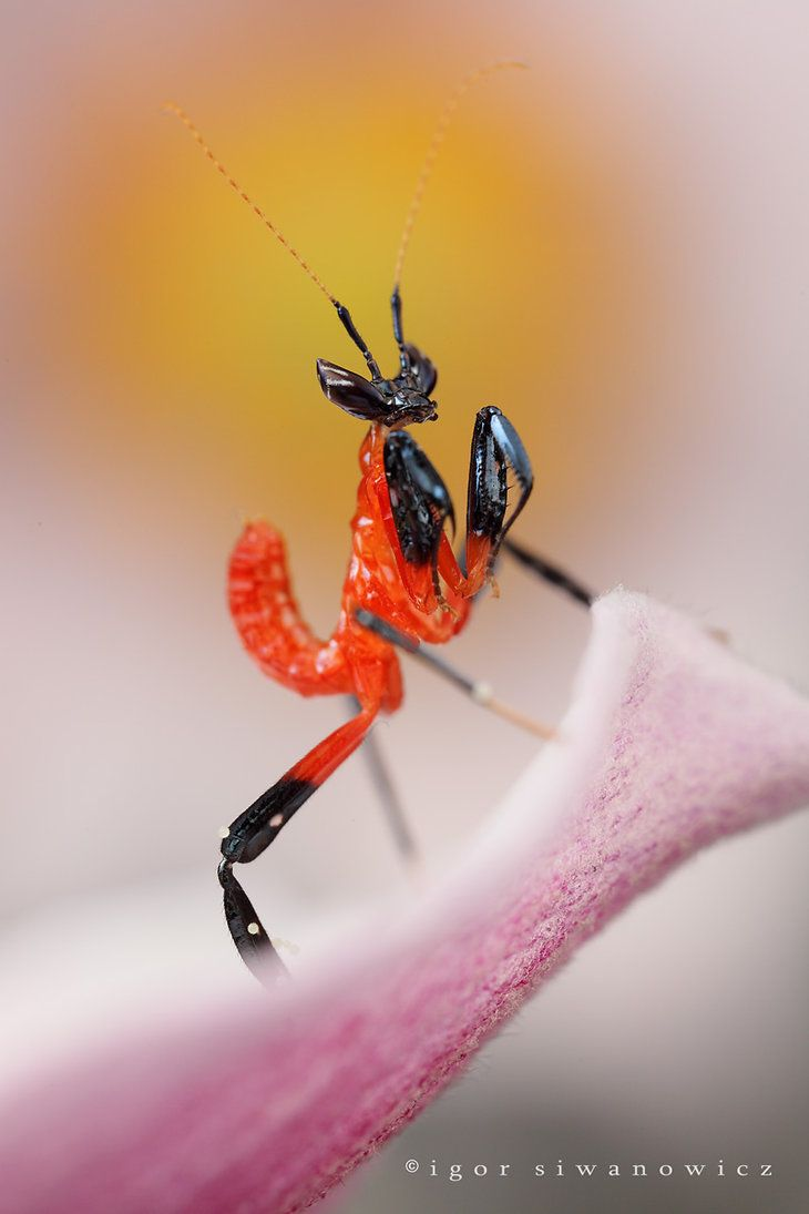 MANTIS BABY by Igor Siwanowicz ~ This is actually a baby assassin bug before it covers itself with spider carcasses.