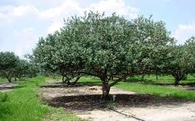 Image result for guava tree images