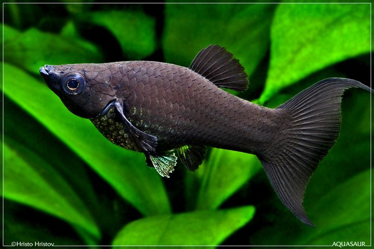 female black molly