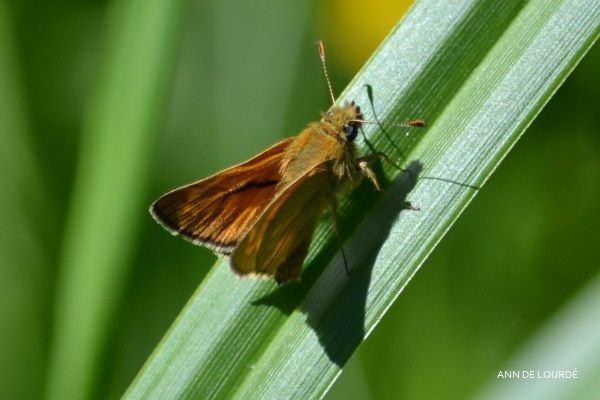 Small Skipper, Thymelicus Sylvestris, Spring 2014, Romerike, Norge.