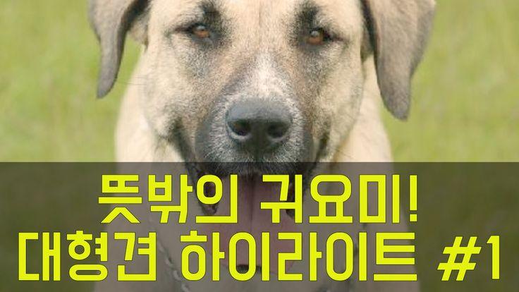 뜻밖의 귀요미! - 대형견 하이라이트 영상 #1 (feat. 핏불테리어, 그레이트 데인, 캉갈, 불마스티프)