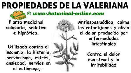 propiedades medicinales y beneficios de la valeriana planta para los nervios Magica para el stress y falta de sueño.