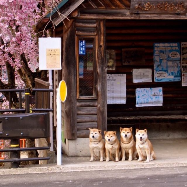Four shibas are waiting for bus for a while.