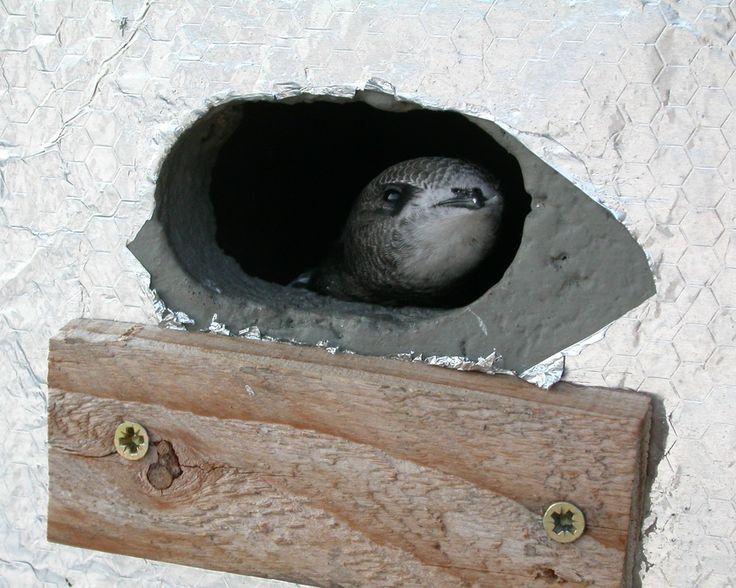 junger Mauersegler schaut aus seinem Nistkasten von Klaus Roggel / martinet à l'entrée de son  nichoir