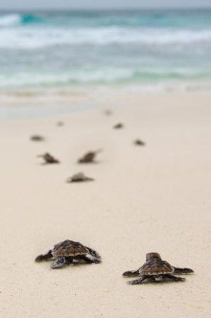 Turtles In Island,Mexico.