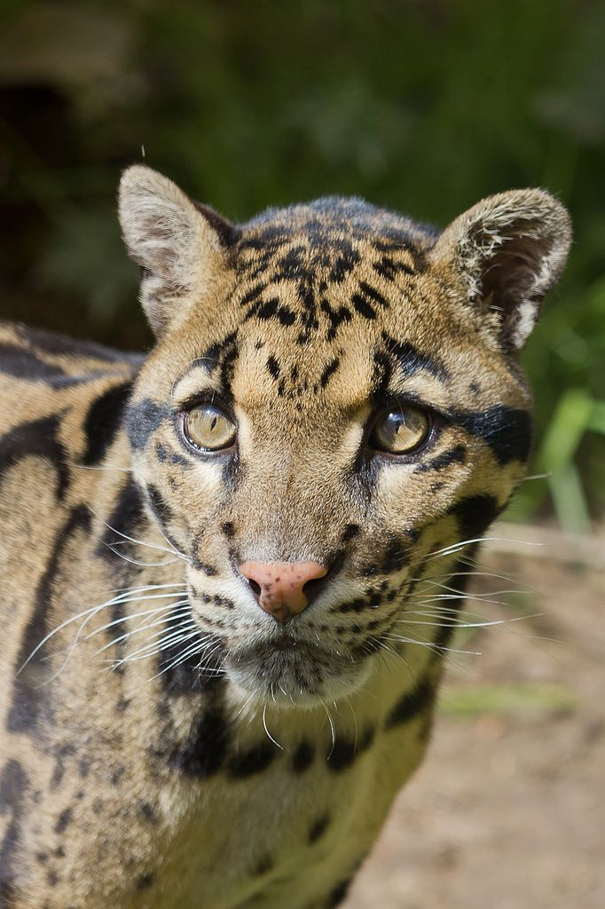 Clouded Leopard (by AnthonyGurr)