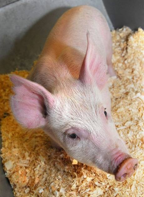 'Pig 26': Can this little piggy win over the enemies of GM? - Science - News - The Independent