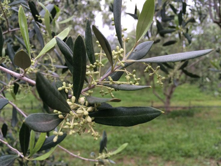 Look at the buds breaking on our trees. This allows us to tell when the growth season will start. The date at which growth starts is normally determined by the trees' own bio-cycle and the extent of the previous winter's temperature-drop. The olive tree is the only fruit tree that is evergreen, and therefore also the only fruit tree of which the harvest is a result of the previous year's growth, and not the current year's. For more about harvest prep, read our post at www.olivefactory.co.za.