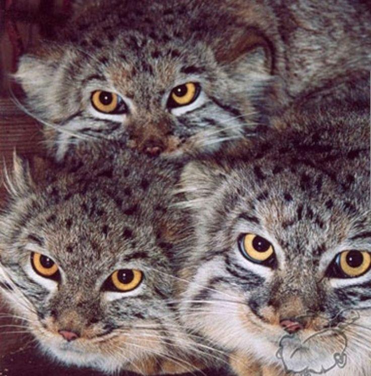 Schauen Sie in diese Augen. Wunderbares Trio   – Katzen