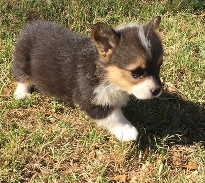 Litter of 3 Pembroke Welsh Corgi puppies for sale in COMANCHE, TX. ADN-29910 on …   – Puppies for Sale