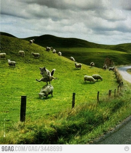 Leap Sheep!: Sheep Dogs, Bored Sheep, Animals, Funny Stuff, Humor, Funnies, Wolves, Things