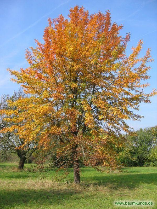 Speierling / Sorbus domestica / Habitus im Herbst Familie: Rosaceae