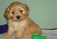 Wisconsin Cockapoo Breeder Cockapoo Puppies for Sale WI