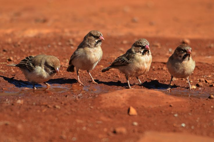 Four scaly-feathered finches at a water hole.