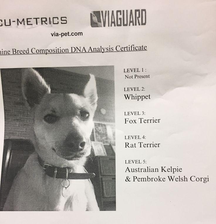 Otis - Rescue dog DNA tested as Whippet, fox terrier, rat terrier, Australian sheep dog and corgi