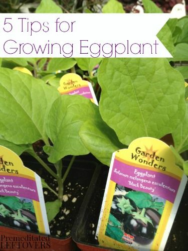 These 5 tips for growing eggplant will help you grow eggplants that look and taste their best.