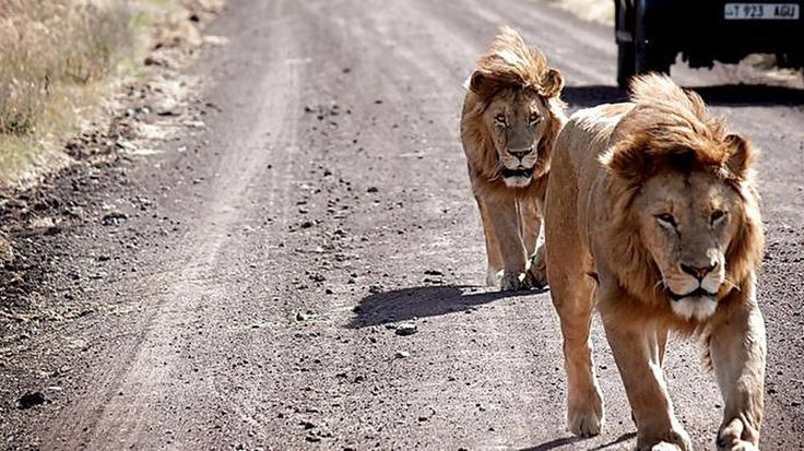 Lions behind a truck, exactly the kind of close up encounters you hope to experience on a safari in Serengeti National Park, Tanzania - KILROY #safari #travel #kilroy #Africa #wildlife
