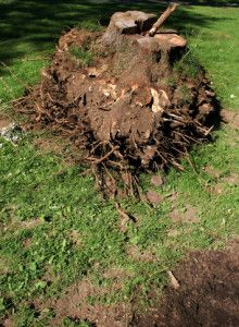 We provide professional stump removal!  Clean Cut Tree Experts is one of the premier tree service companies in Michigan serving both residential and commercial properties! Call 734-513-7299 Clean Cut Tree Experts is one of the premier tree service companies in Michigan serving both residential and commercial properties! Call (734) 513-7299 or visit www.cleancuttreeexperts.com today!