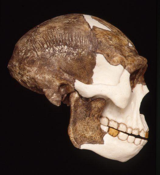 Side view of Peking Man, Homo erectus skull