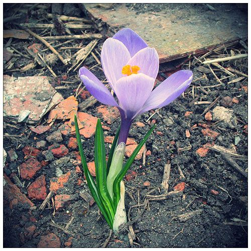 Цветы, крокус