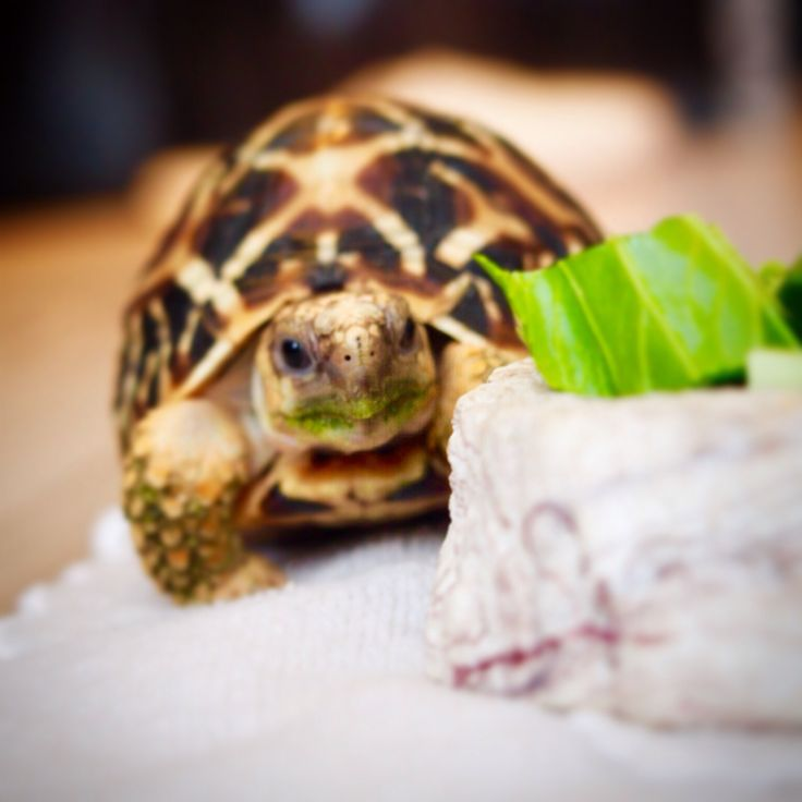 Indian star tortoise Geochelone elegans 亀 カメ ホシガメ