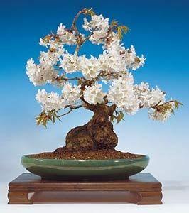 JPB:Bonsai Collection 7 | Cerezo Bonsai