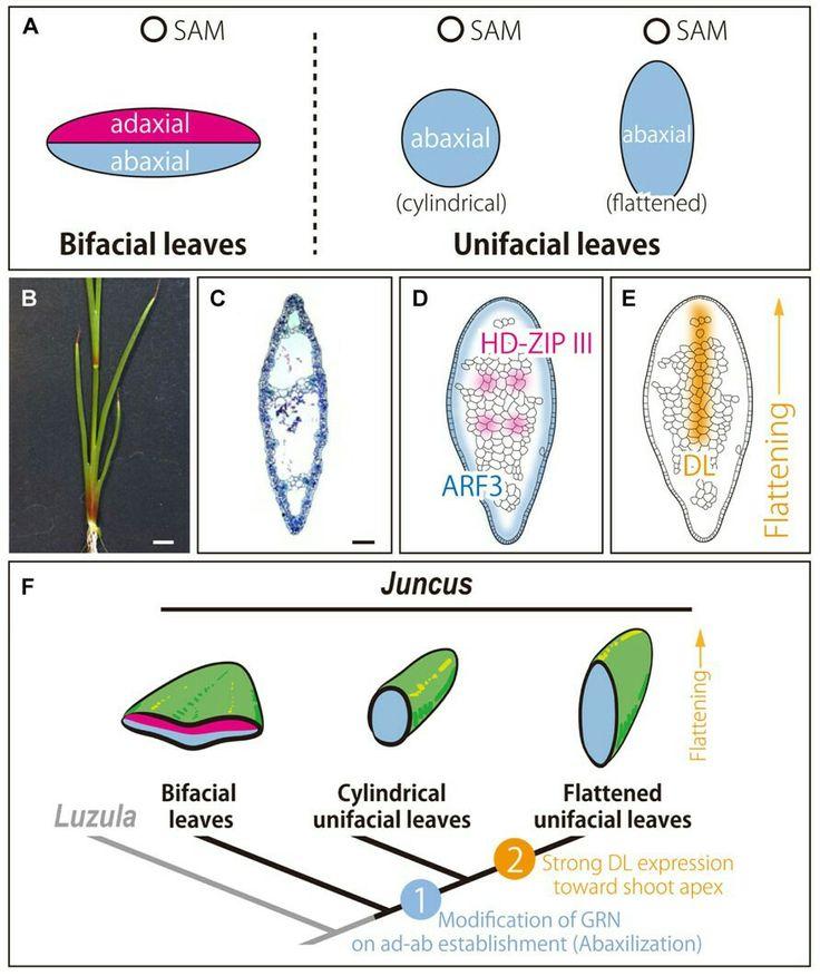 Die 132 besten Ideen zu EDU: PLANT ANATOMY auf Pinterest | Anatomie ...