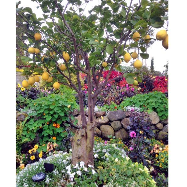 Lemon tree @ Flor og Fjære, Stavanger