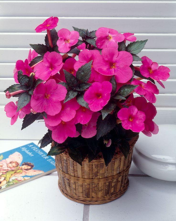 Mustanmerenruusu pinkki