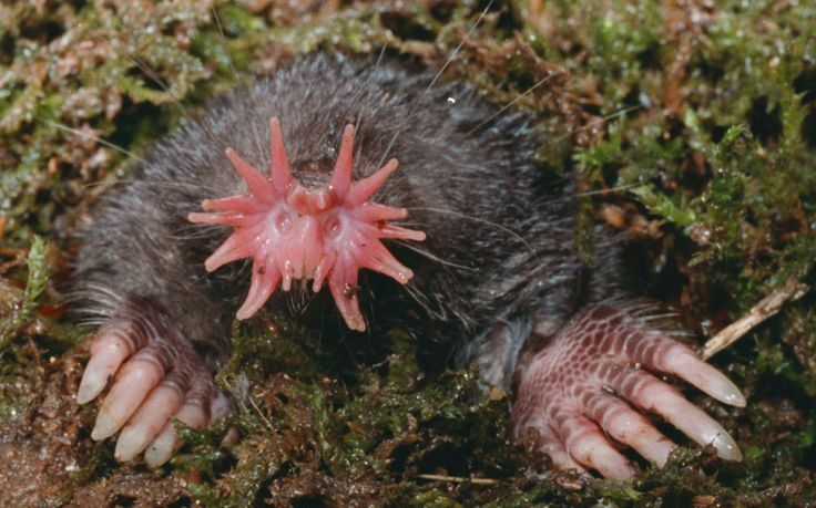 Learning about touch sensation from an unlikely creature, the star-nosed mole