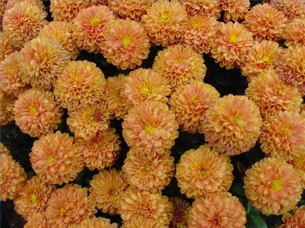 Different Kinds of Mum Flowers